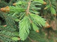 Harvesting Spruce Tips for Shortbread