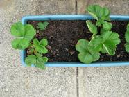 What to Do with Strawberry Runners... found on PunkDomestics.com