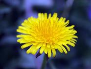 Dandelions Are Dandy found on PunkDomestics.com