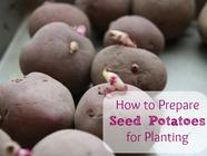 How to Prepare Seed Potatoes found on PunkDomestics.com
