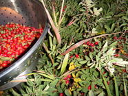 Rose Hips 3 Ways {Dried, Syrup & Ketchup} found on PunkDomestics.com