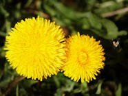 Dandelion Fritters