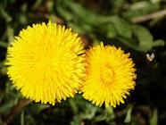 Dandelion Fritters found on PunkDomestics.com