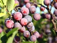 Wild Beach Plum Jelly found on PunkDomestics.com