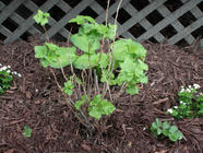 Planting a Black Currant Patch found on PunkDomestics.com
