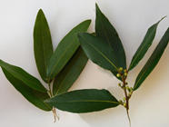Comparing Bay Leaves found on PunkDomestics.com