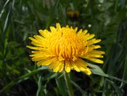 Dandelion Wine: How-To found on PunkDomestics.com
