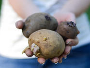 Companion Planting: Potatoes and Beans found on PunkDomestics.com