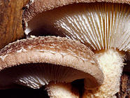 Growing Shiitake Mushrooms