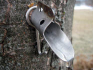 Maple Tapping and Maple Syrup 101