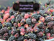 Harvesting Mulberries found on PunkDomestics.com