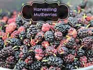 Harvesting Mulberries found on PunkDomestics.com