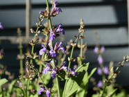 Sage Blossoms Part 1: Jelly found on PunkDomestics.com