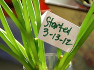 Growing Scallions from Cut Ends