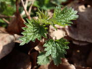 Foraging with Russ Cohen: Stinging Nettles