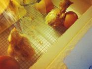 {Backyard Chickens} The Hatching Process