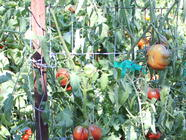 How to Trellis your Heirloom Tomatoes found on PunkDomestics.com