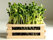 How to Grow Sunflower Greens found on PunkDomestics.com
