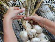 How to Braid Garlic found on PunkDomestics.com