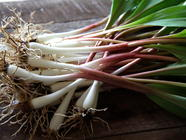 Foraging for Ramps in New Jersey found on PunkDomestics.com