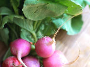 Pickled Radishes found on PunkDomestics.com