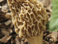 Preserving Morel Mushrooms found on PunkDomestics.com