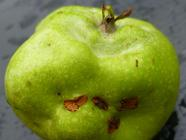 Windfall Apples & Commercial Pectin: Yay/Nay?