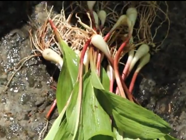 Video: Foraging for Ramps found on PunkDomestics.com
