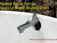 Making Black Walnut Syrup