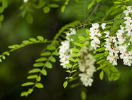 Black Locust Flowers found on PunkDomestics.com