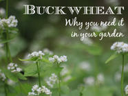 9 Reasons Buckwheat Belongs in Your Garden found on PunkDomestics.com