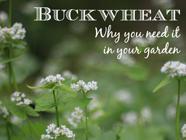 9 Reasons Buckwheat Belongs in Your Garden found on PunkDomestics.com