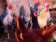 Urban Chickens and Neighbors found on PunkDomestics.com