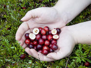 Foraging Wild Cranberries found on PunkDomestics.com