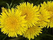Dandelions! found on PunkDomestics.com