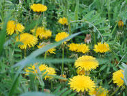 Backyard Booze: Making Dandelion Wine