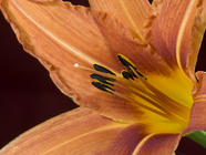 Identifying and Eating Daylilies found on PunkDomestics.com