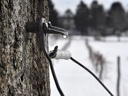 Drinking Maple Sap: Tree Tapping 101