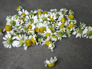 Preserving Herbs: Drying Fresh Chamomile
