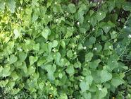 Garlic Mustard Pesto found on PunkDomestics.com