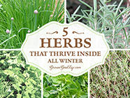 5 Herbs That Thrive Inside All Winter found on PunkDomestics.com