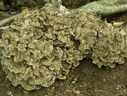 Mushrooms Identified-Hen of the Woods