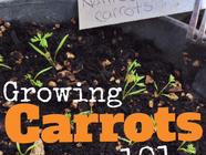 Homegrown Carrots in 5 Easy Steps found on PunkDomestics.com