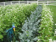 Cover Crops 101 found on PunkDomestics.com