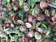 Pickled Fiddleheads in Tarragon & Caraway