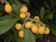 Loquats found on PunkDomestics.com