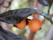 Loquat Chutney