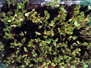 Growing Microgreens 101 found on PunkDomestics.com