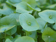 Foraging For Miner's Lettuce found on PunkDomestics.com