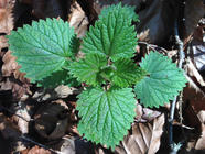Nettle Foraging and Nettle Soup Recipe